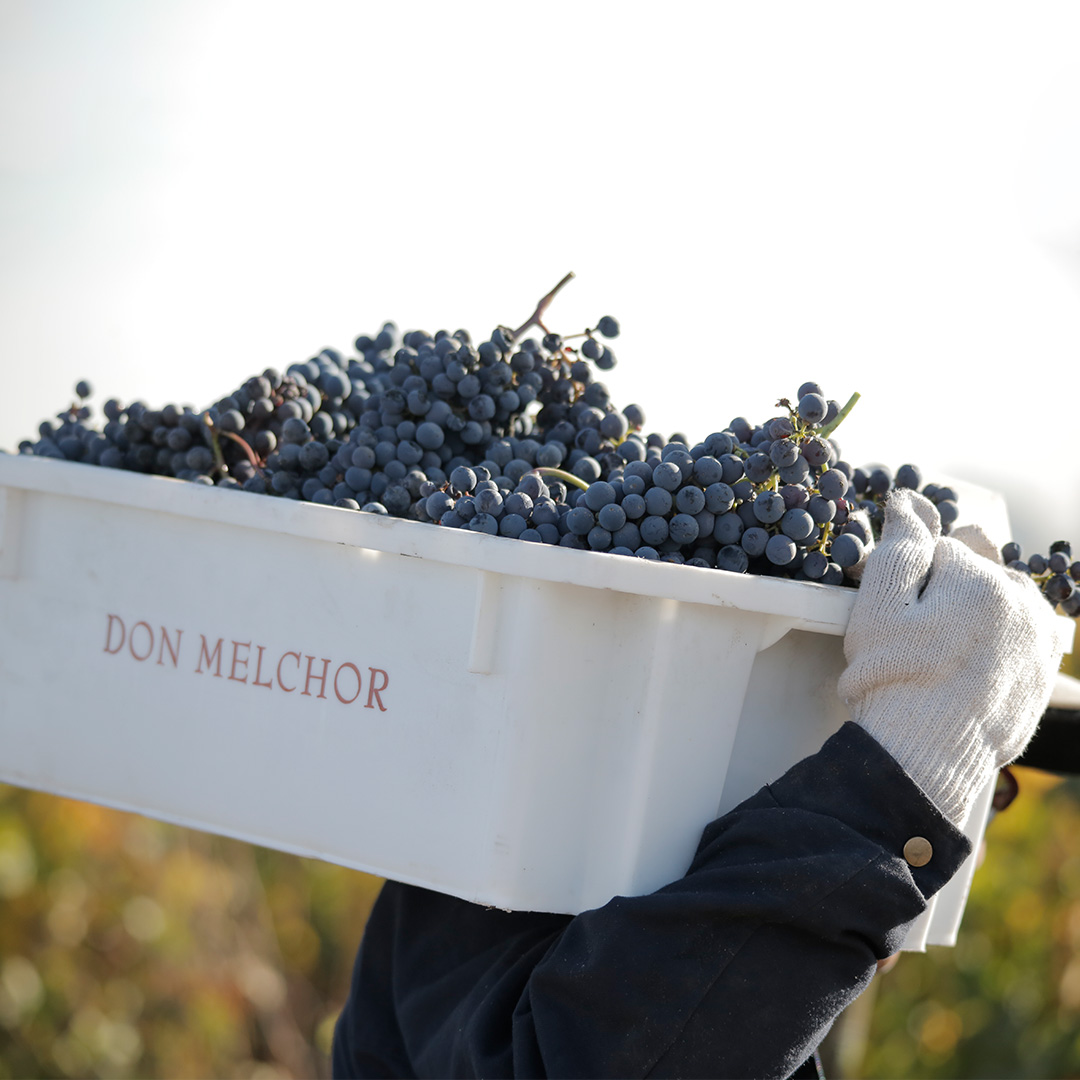 Consistent harvest for Don Melchor